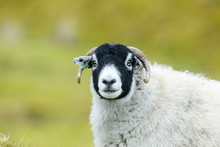Swaledale Sheep. A Swaledale E...