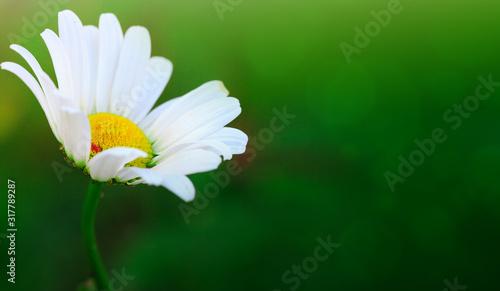 Tableau sur Toile Macro Shot of white daisy flower in sunset light.