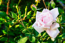 Pale Pink Rose Shines In The M...