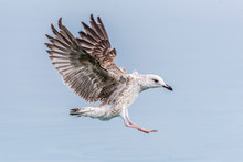 Seagull Flying In Sky. Seagull...