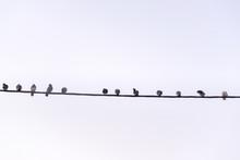 Row Of Pigeon Birds Standing O...