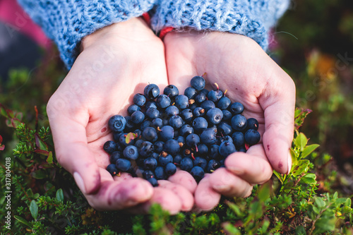 Photo Process of collecting and picking berries in the forest of northern Sweden, Lapl