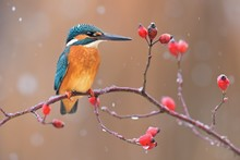 Common Kingfisher ( Alcedo Atthis ) Sitting On The Branch Of The Rosa Canina  In The Natural Winter And Snowy Enviroment