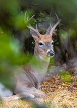 Portrait Of A Resting Deer