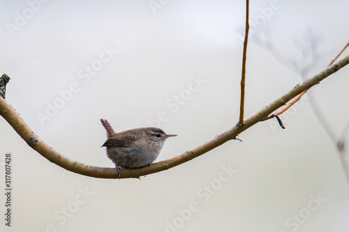 Fotografie, Obraz An inconspicuous wren sits on a branch