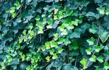 Hedera Helix Green Creeping Pl...
