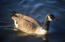 Canada Goose In Kelsey Park, B...