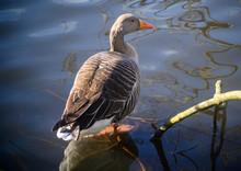 Greylag Goose In Kelsey Park, ...