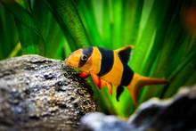Large Clown Loach In Fish Tank (Chromobotia Macracanthus)