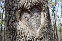 Large Heart Carved Into Tree B...