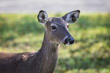 White-tailed Deer In The Forest
