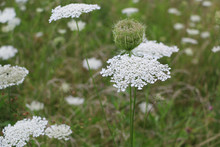 A Field Of Queen Anne's Lace