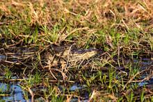 CAIMAN A LUNETTES Caiman Crocodilus