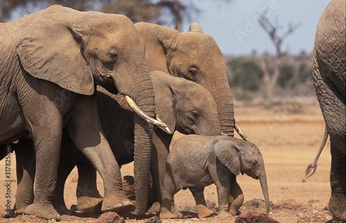 Canvas Print ELEPHANT D'AFRIQUE loxodonta africana