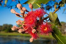 Red Gum Eucalyptus Gum Tree Flowers Against Blue Sky.