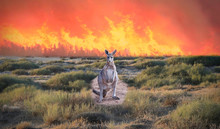 Kangaroo, Australia Fires, Apocalypse  Comes To Kangaroo Island
