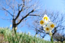 水仙の綺麗な花と梅の...