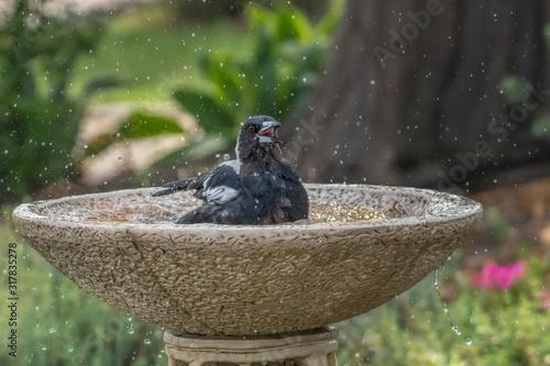 Photo Happy Australian Magpie splashing in birdbath to escape summer heat