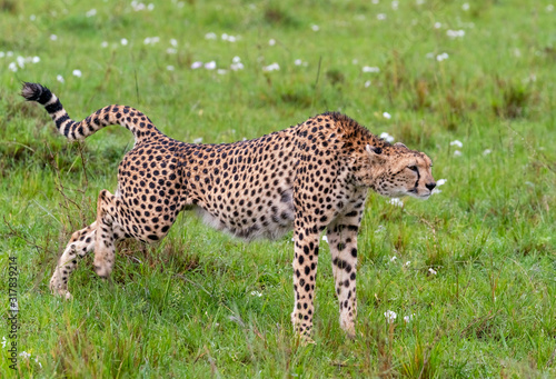 Cheetah Running, Maasai Mara National Park, Kenya