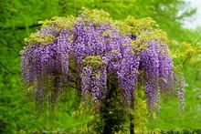 Beautiful Purple Wisteria Flow...