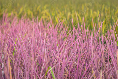 Photo Pink rice field in Phitsanulok province
