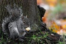 Beautiful Shot Of A Cute Fox Squirrel Eating Hazelnut Behind A  Tree