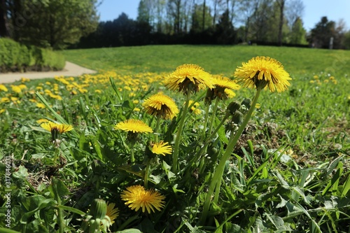 Closeup landscape shot of yellow dandelions with forest and a clear blue sky in the background