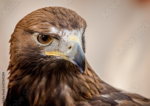 Valokuva Closeup shot of the head of a beautiful hawk with a blurred background