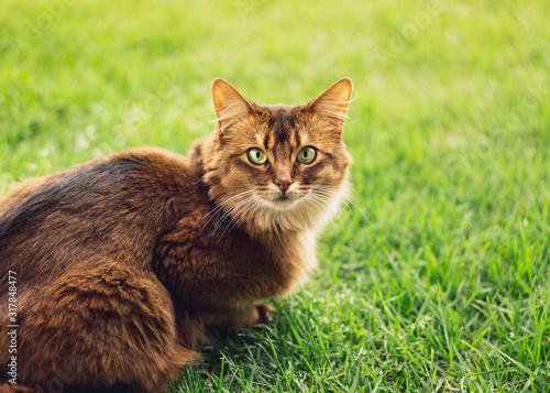 Purebred somali cat in the grass outside Wallpaper Mural