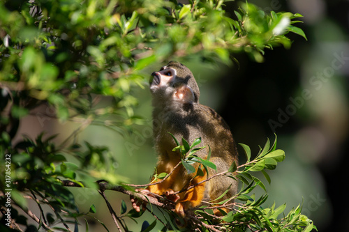 Squirrel Monkey in zoo Canvas Print