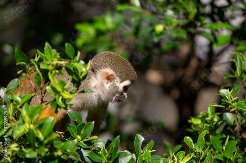 Photo Squirrel Monkey in zoo