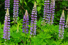 Purple Flowers Lupinus Between...