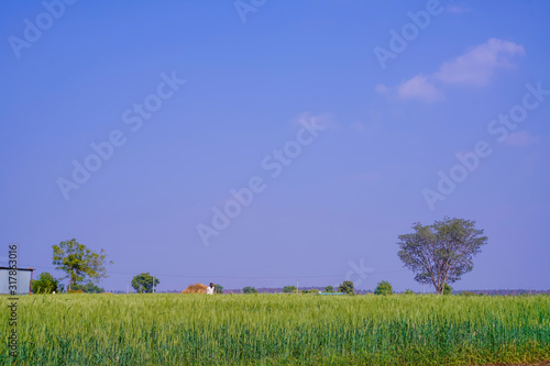 Photo Green wheat farm in India
