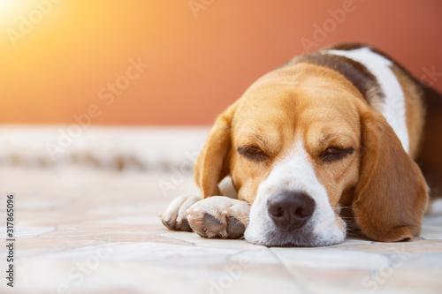 Fényképezés Crossbreed puppy Beagle looks guiltily