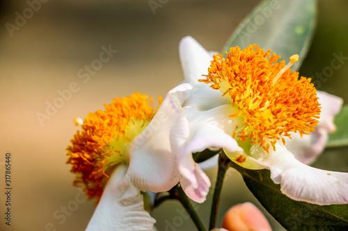 Photo Mesua ferrea, Ceylon ironwood, Indian rose chestnut, cobra saffron, Calophyllace