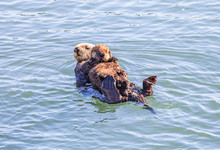 Mother Sea Otter With Baby In Morro Bay, CA