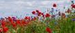 canvas print picture - aufgeblühte Mohnblumen auf einem Feld