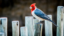 Red Crested Cardinal In Hawaii