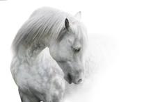 White Horse Portrait With Long Mane On White Background. High Key Image
