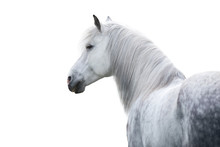 White Horse Portrait With Long Mane On White Background. High Key Image