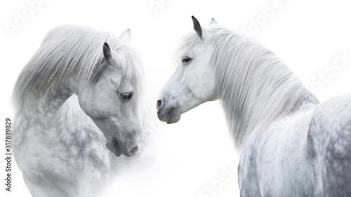 dwa-bialego-konia-portret-na-bialym-tle