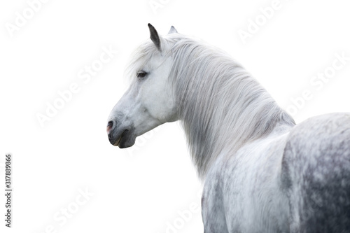 Photographie White horse portrait with long mane on white background