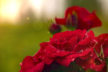 Red Rose Dew Drops Close Up In...