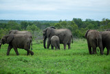 A breeding herd of elephant out in the open feeding in a clearing of short grass.