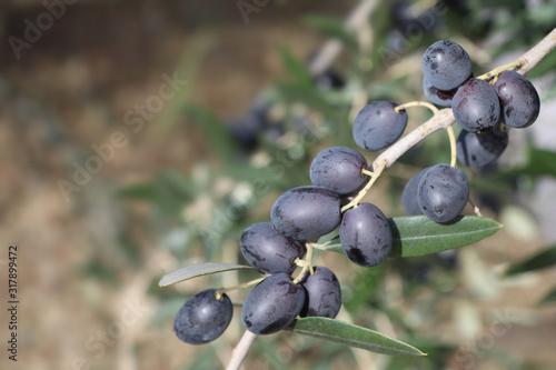 Cuadros en Lienzo Ramo di olive mature