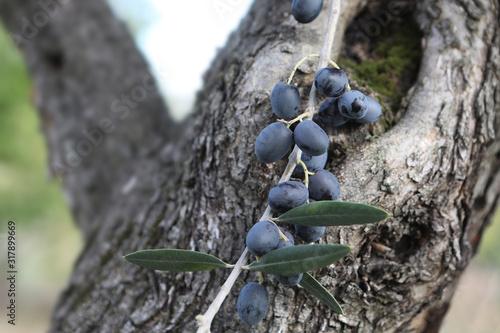 Fotomural Ramo di olive mature sull'albero di olivo