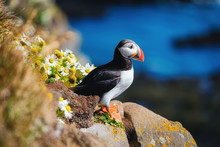 Puffin In The Iceland. Seabird...