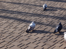 Pigeons Walking On The Ground