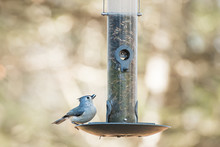Tufted Titmouse Eating Seeds At A Feeder
