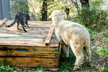 White Sheep Plays With A Cat In The Garden
